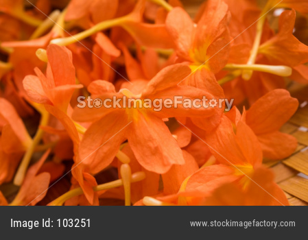 Crossandra OR Aboli flowers